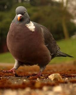 pigeon looking