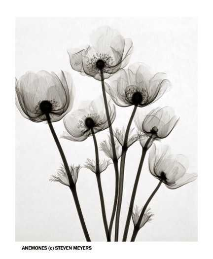 Pin By Ellie Horning On Poppies Xray Flower Xray Art Flowers