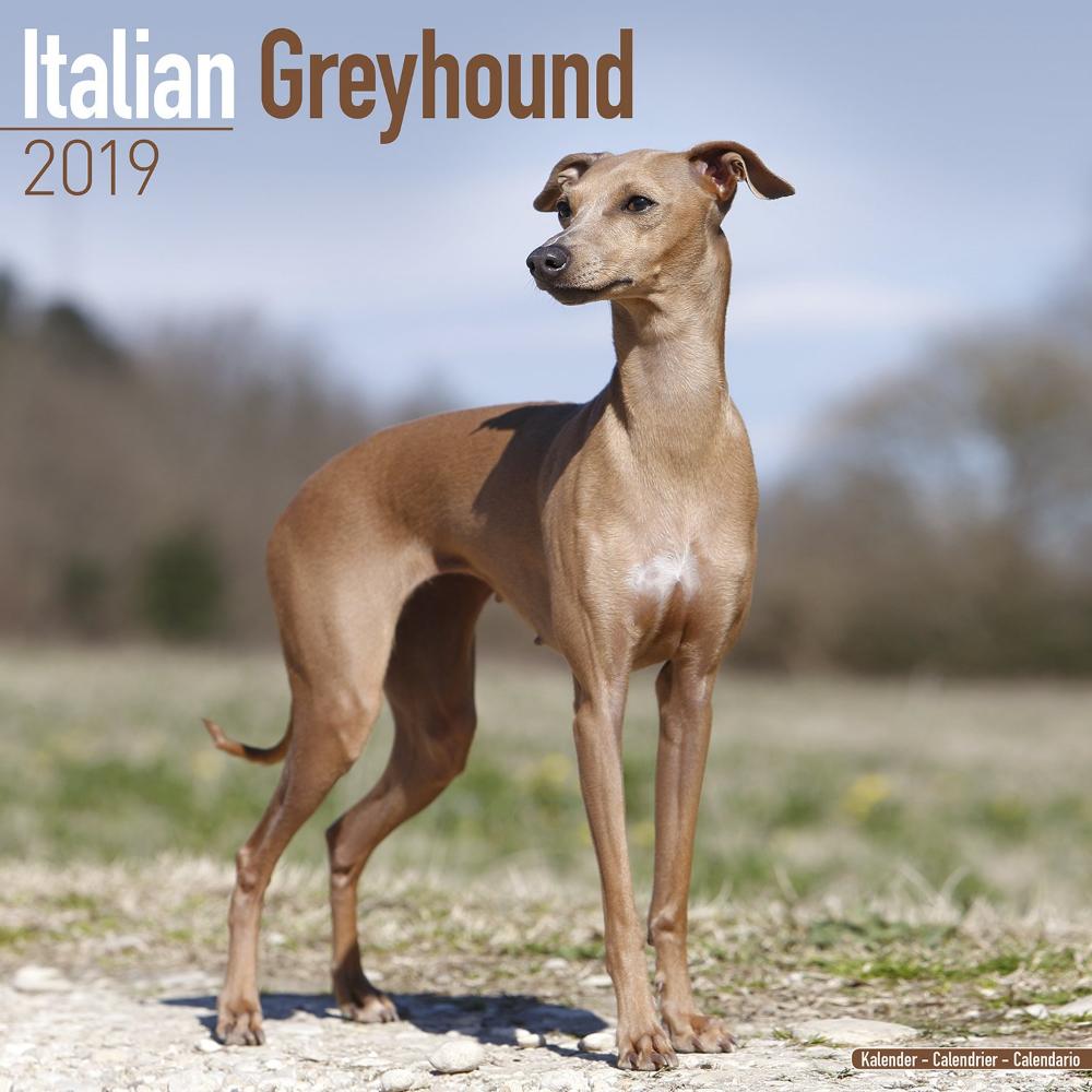 Teacup Greyhound Puppy Google Search Italian Greyhound Greyhound Greyhound Puppy