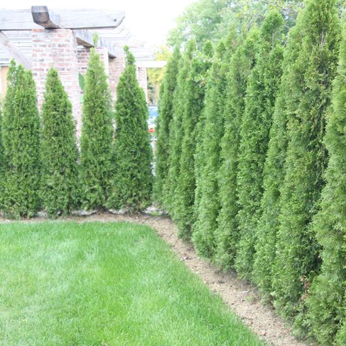Thuja emerald green privacy tree green thumb pinterest for Green bushes for landscaping
