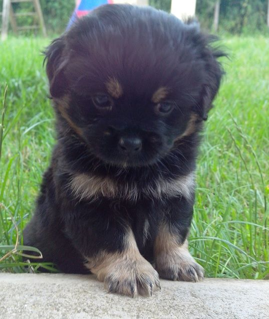 Pug And Havanese Pug Mixed Breeds Cute Dogs Dogs And Puppies