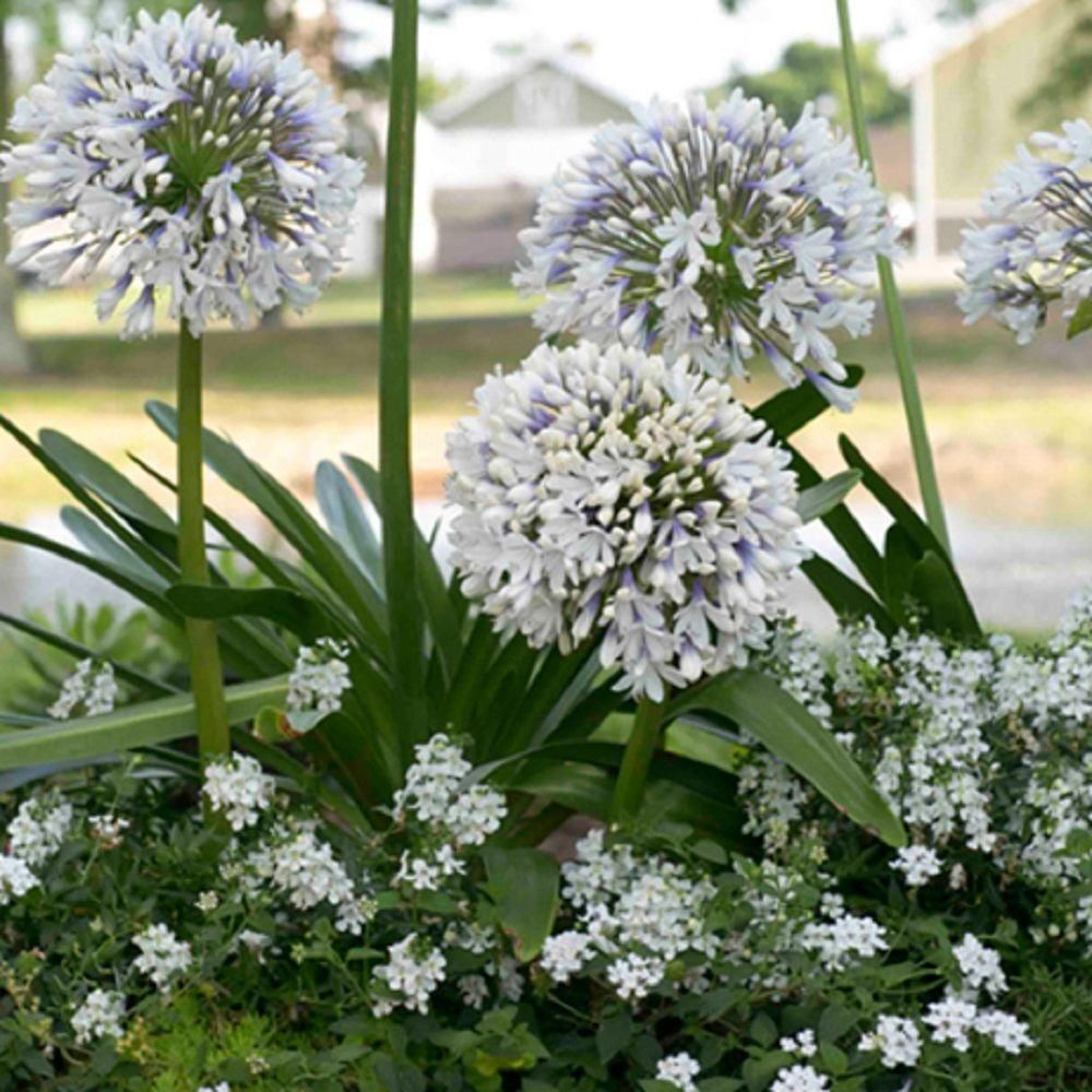 Southern Living Plant Collection 2 Gal. Queen Mum Agapanthus-00932 - The Home Depot