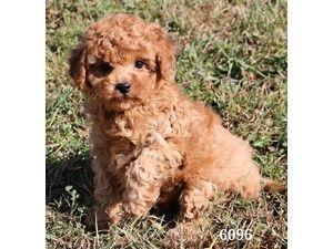 Available Puppies - Petland Pensacola | cuties | Puppies
