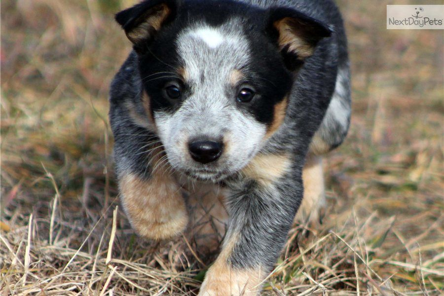 Blue Heeler Dog Breed Australian Cattle Dog Blue Heeler Blue