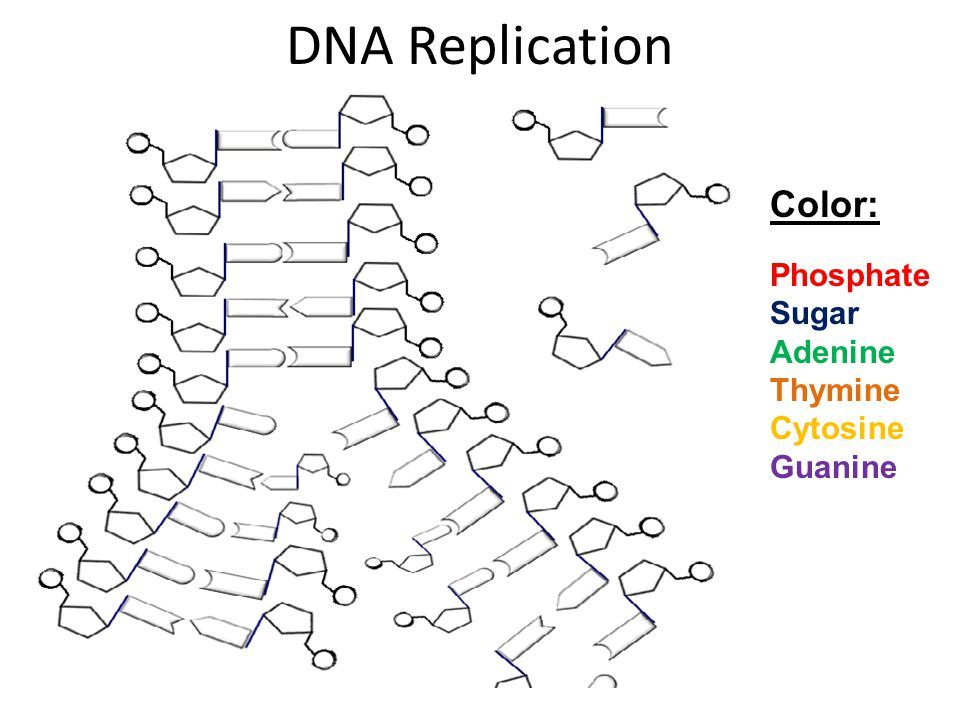 Dna Structure Clipart dna replication ... | Color ...