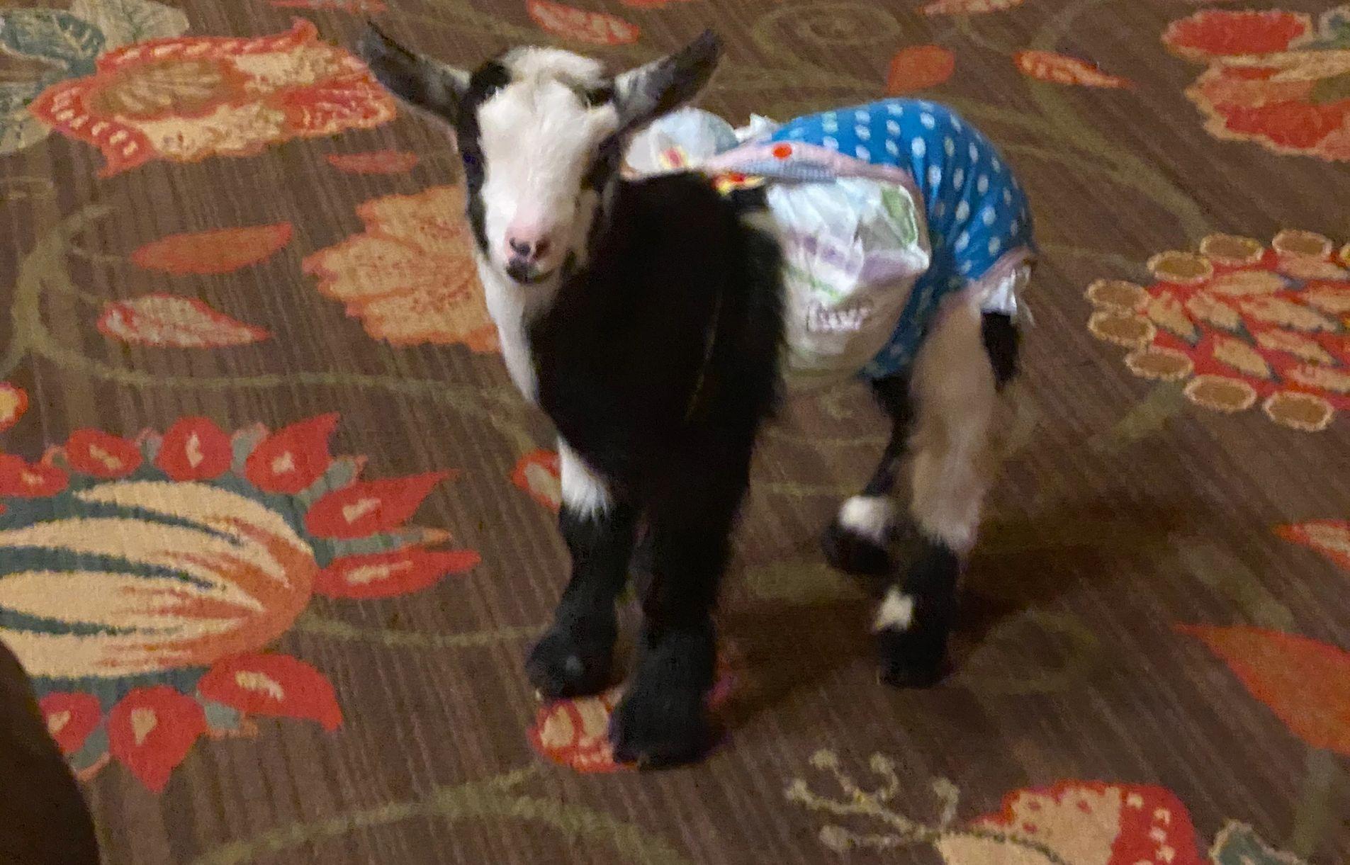 Babies For Sale Ohio Nigerian Dwarf Goats In 2020 Dwarf Bunnies For Sale Dwarf Bunnies Nigerian Dwarf Goats