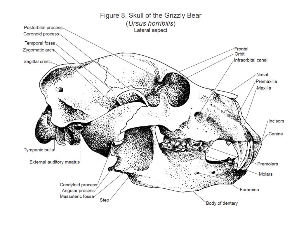 Coyote Skull Brain Diagram - DIY Wiring Diagrams •