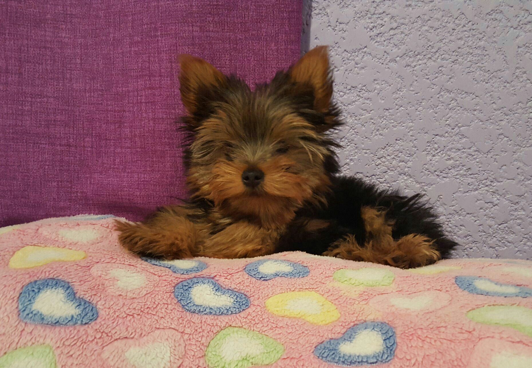 Sky Mi Lil Fur Baby Girl 3 Months Old Yorkie Yorkies Still