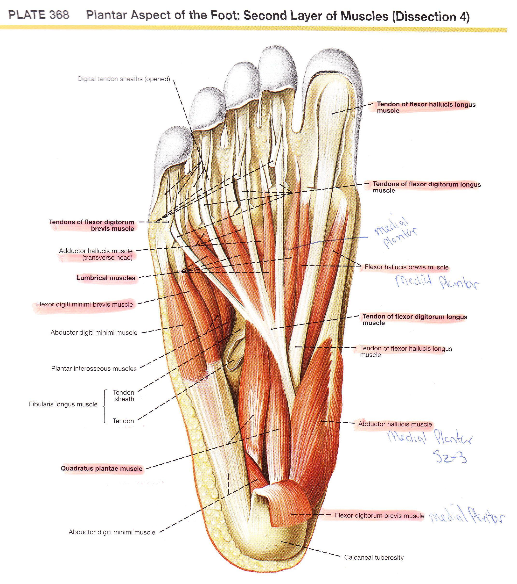 foot-anatomy-plantar-plantar-foot (2142×2417) | 下肢 | pinterest, Human Body