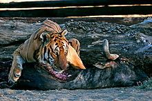 Panthera tigris - Wikipedia