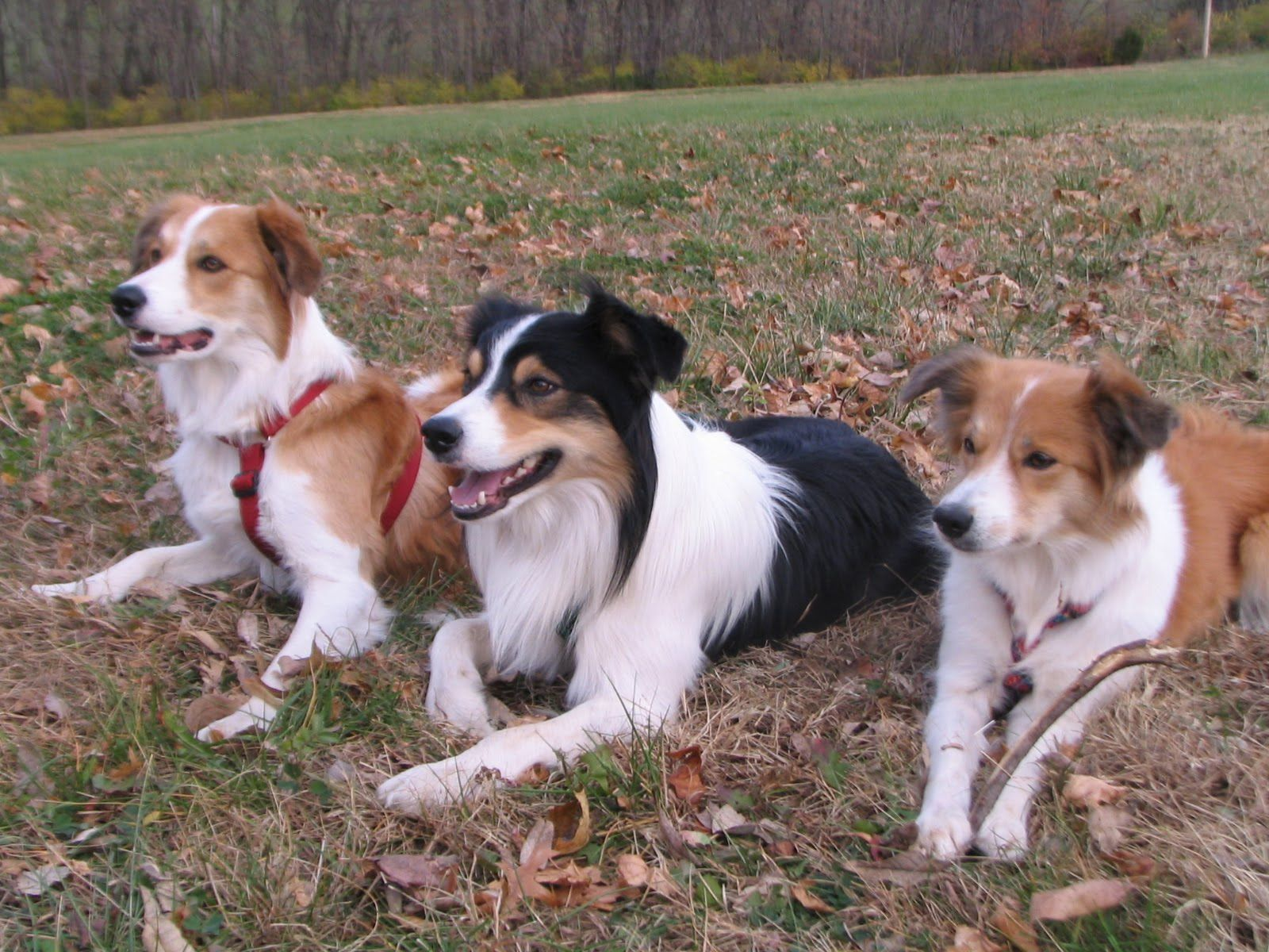 Welsh Sheepdog Photo Zio The Border Collie Purina Farms Pics Welsh Sheepdog Silly Dogs Pet Dogs