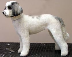 Le Chien Professional Dog Grooming Tibetan Terrier Dog Grooming Terrier Puppy