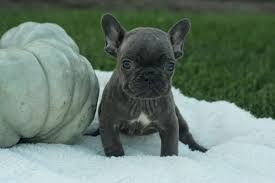 Pin By Frenchies And Pugs On Pug Puppies Ohio Pug Puppies Pug