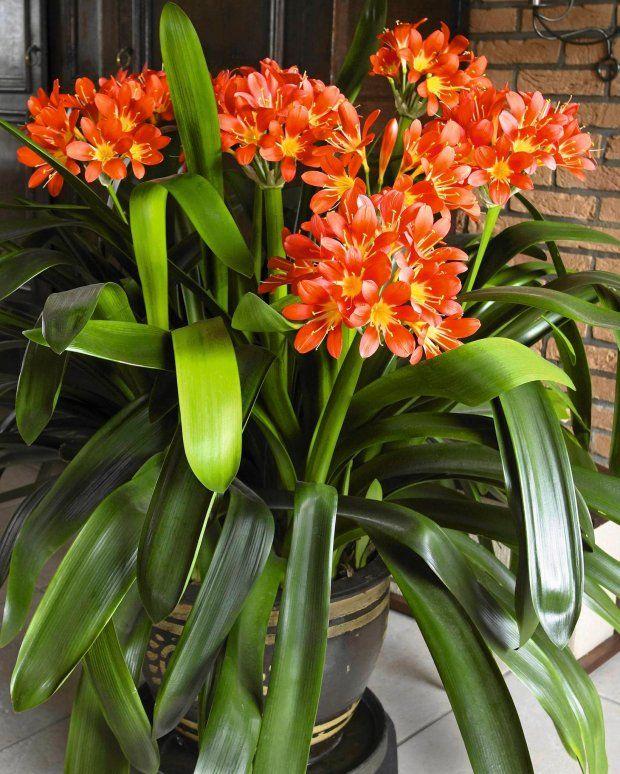 Znalezione Obrazy Dla Zapytania Duze Kwiaty Doniczkowe Sprzedaz Plants Instagram Posts Instagram
