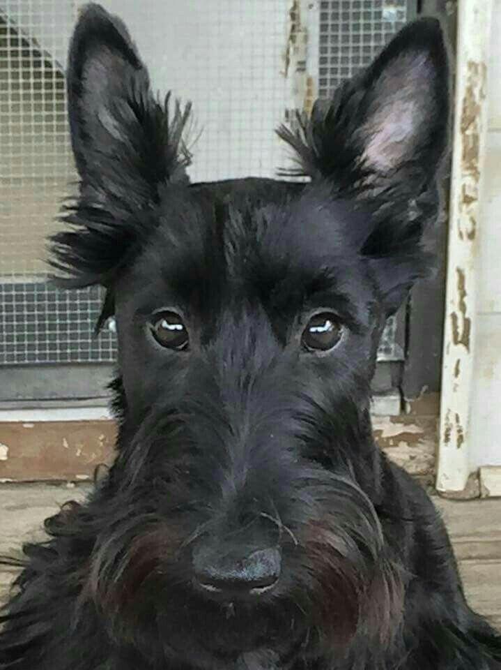 Scottie, Scottish Terrier Puppies for Sale