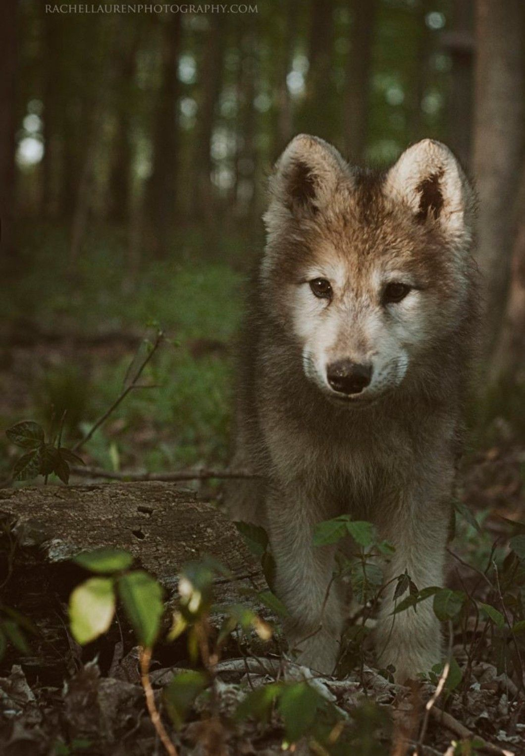 Cute Little Wolf In The Forest Baby Wolves Animals Wild Animals