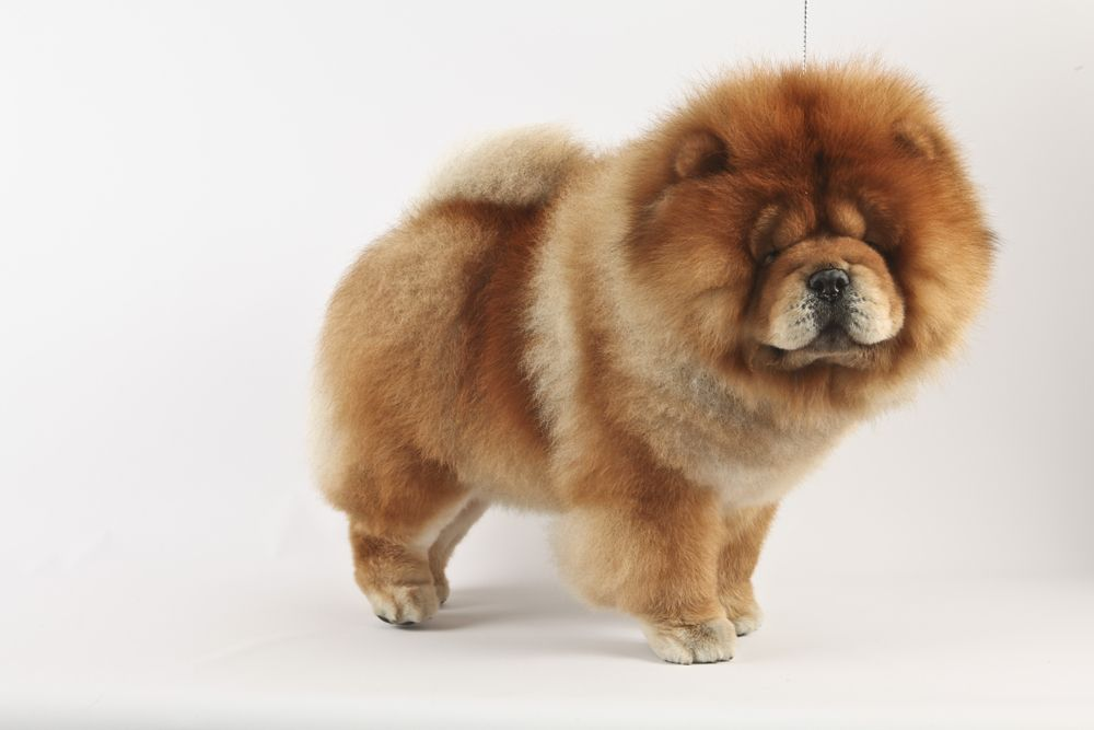 Maddox A 3 Year Old Chow Chow At The Westminster Dog Show