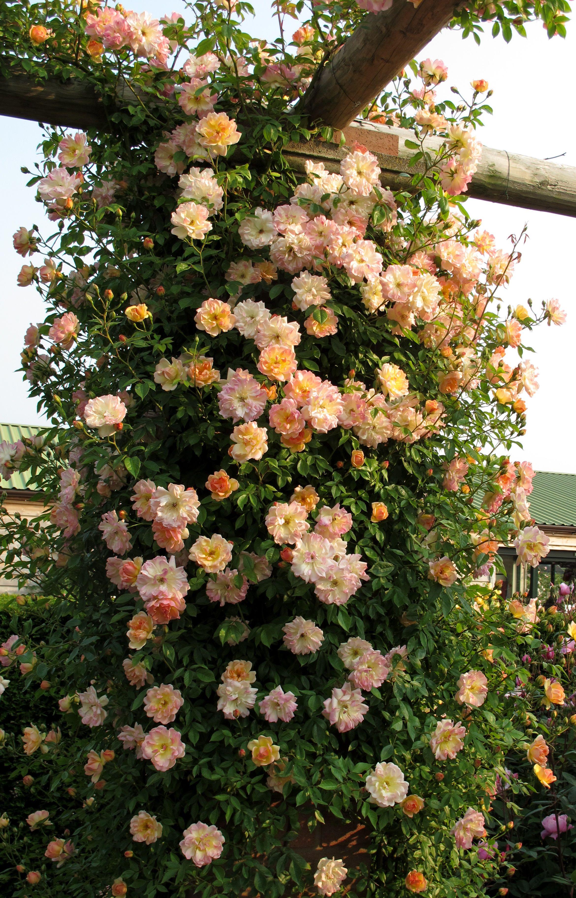 39 phyllis bide 39 rambler is a wonderful pillar rose lovely. Black Bedroom Furniture Sets. Home Design Ideas
