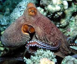 Výsledek obrázku pro chobotnice