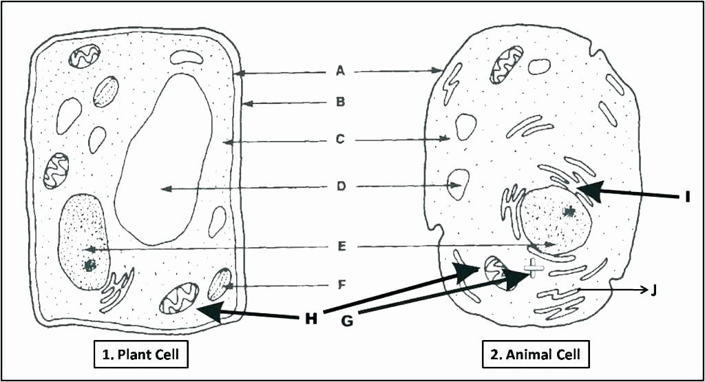 Printable Animal Cell Diagram Animal Cell Coloring Page
