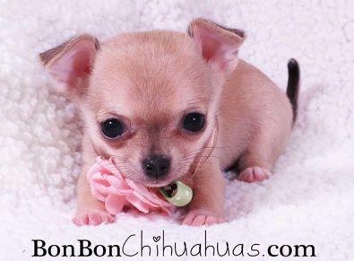Teeny Tiny Chihuahua Puppy Chihuahua Puppies