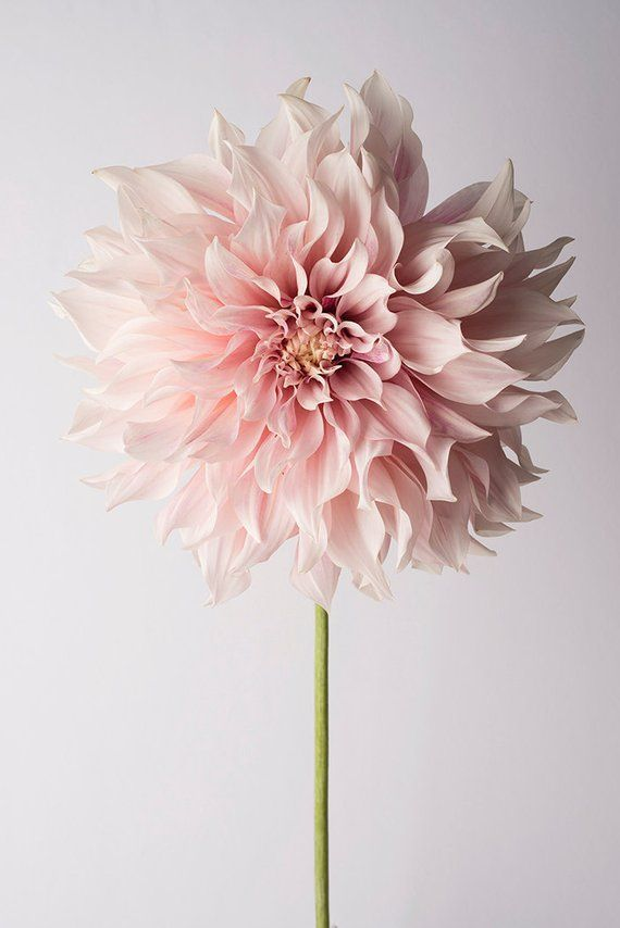 Flower Photography - Floral Still Life Photography, Pink Dahlia, Cafe au Lait, Wall Decor, Wall Art #flowers
