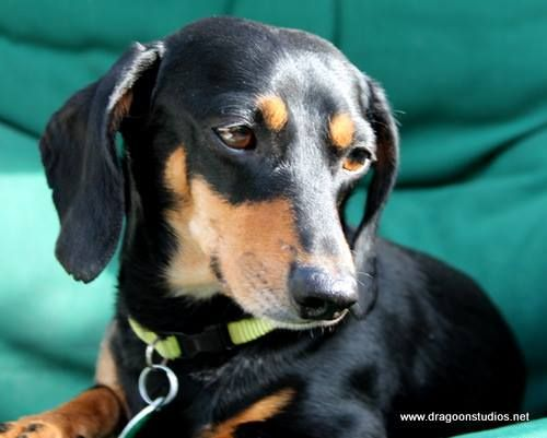 Tom Is One Of 132 Homeless Wieners We Placed In 2015 At Dachshund