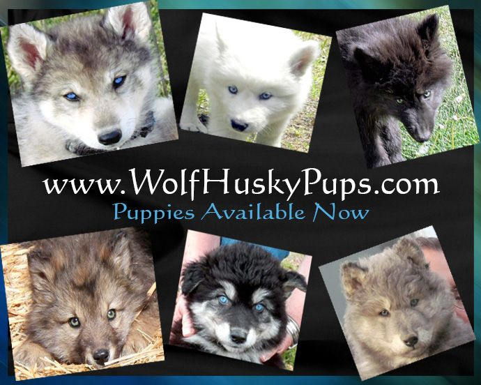 Siberian Husky X Timber Gray Wolf Dog Puppies Wolf Dog Puppy