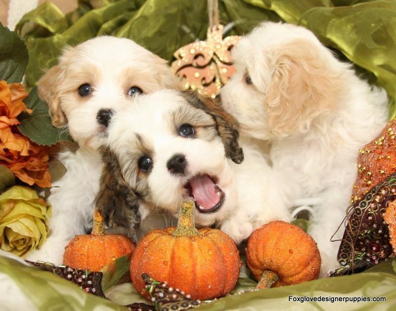 Cavachon Puppies By Foxglove Farm Cavachons For Sale Cavachon Puppies Cavachon Puppies