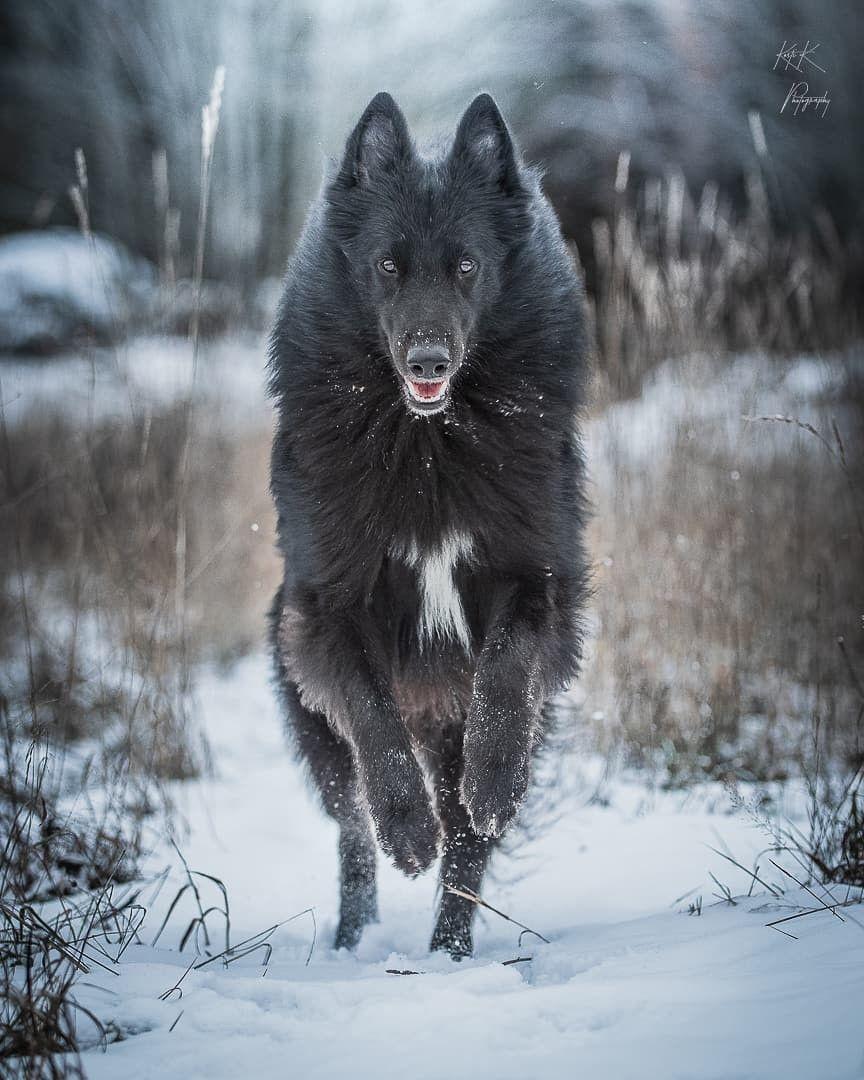 710 Groenendael: The Belgian Sheepdog ideas in 2021   belgian sheepdog,  sheepdog, belgian shepherd