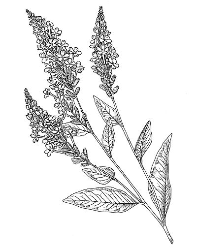 Image from http://database.prota.org/PROTAhtml/Photfile%20Images%5CLinedrawing%20Plumbago%20zeylanica.gif.