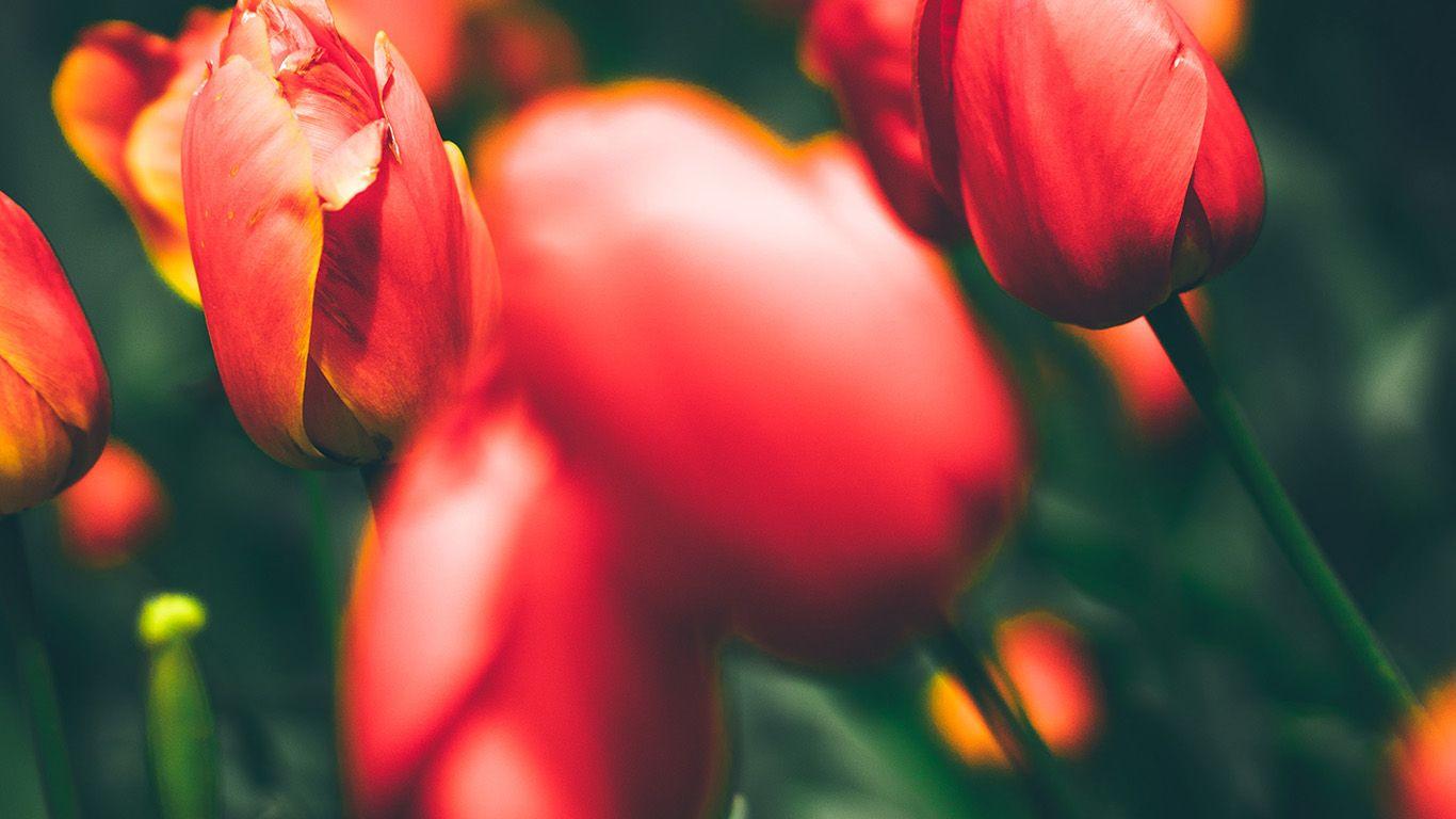 Wallpaper Httpdesktoppapersnn01 Tulips Red Flower Nature