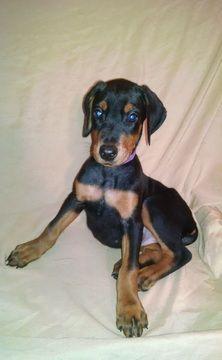 Litter Of 6 Doberman Pinscher Puppies For Sale In Glen Allen Va