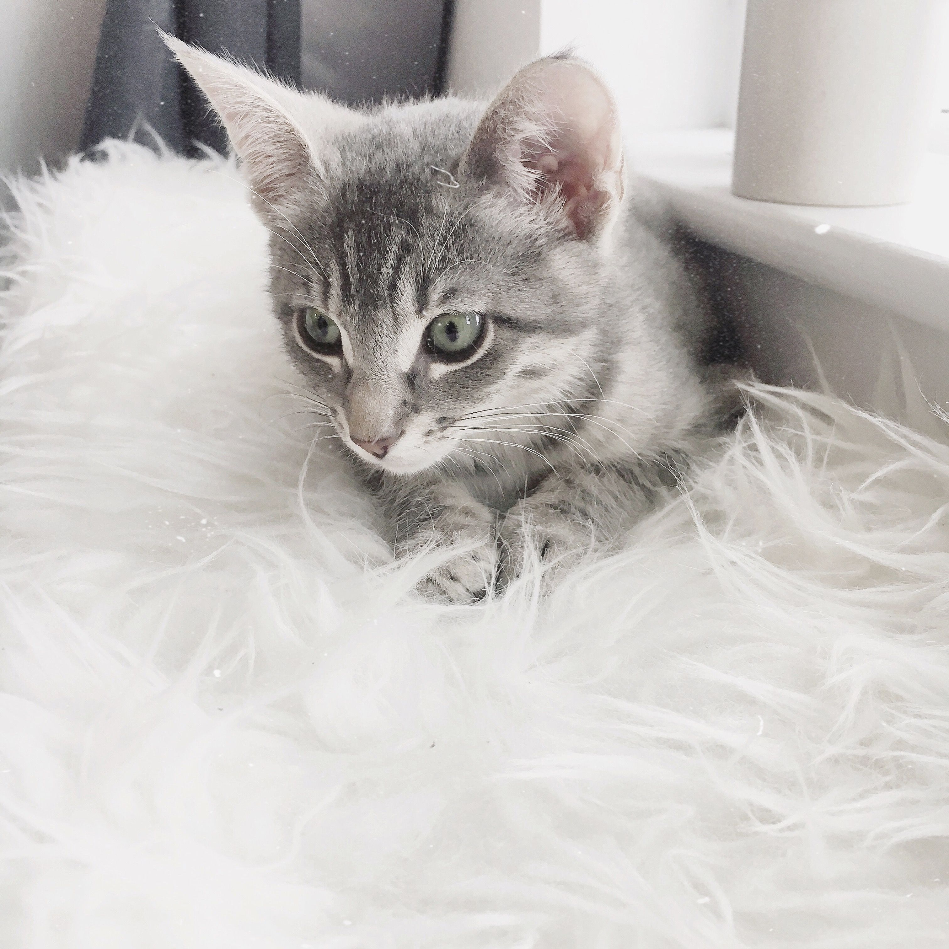 Mun Kitten Kittens Green Eyes Domestic Short Hair Cat Light Grey Blue Silver Tabby Baby Cute Fluff Kittens Cutest Grey Kitten Grey Tabby Cats