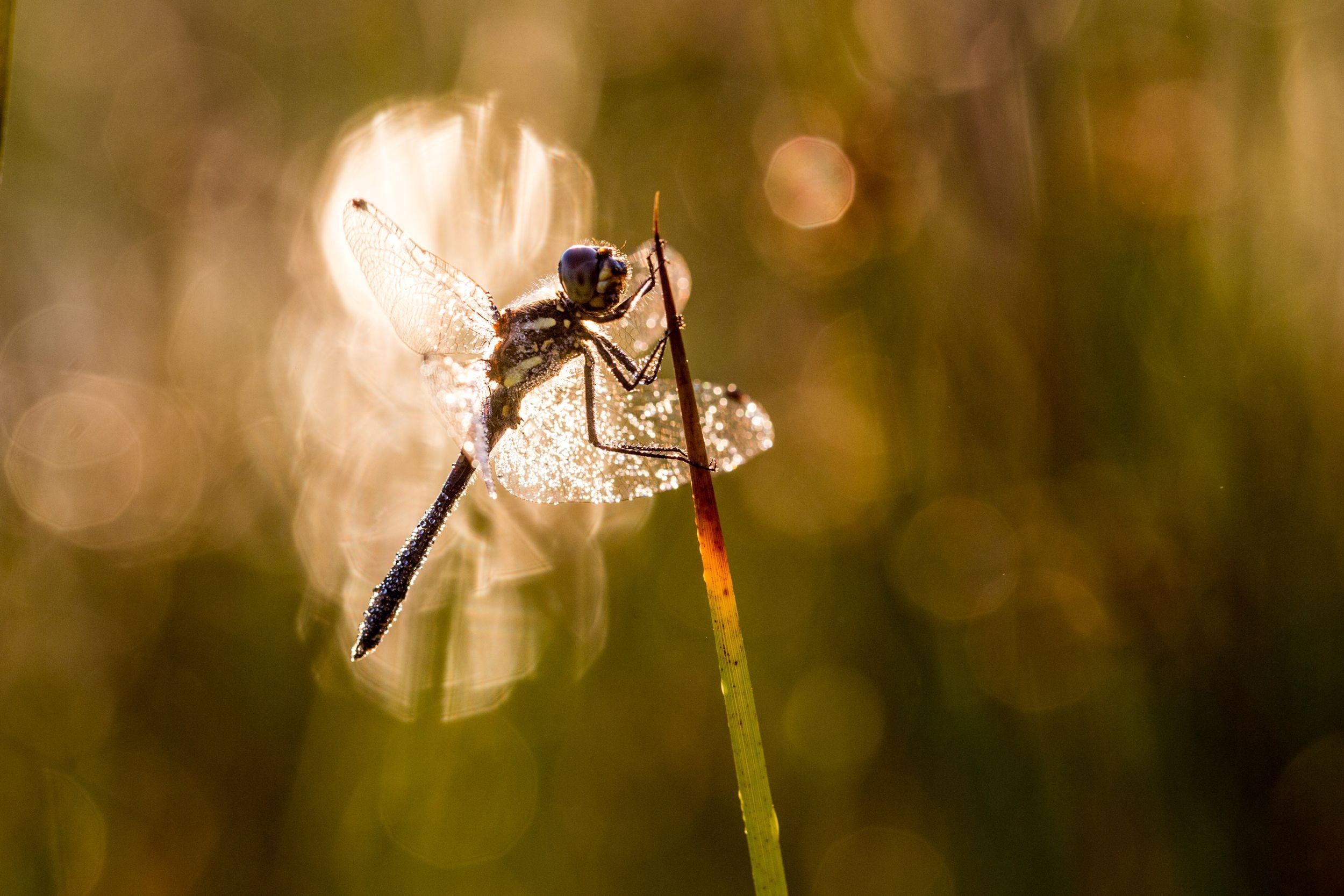 Ook probeer ik bij het fotograferen van libellen en/of juffers, zoveel mogelijk een andere lichtinval te kiezen.