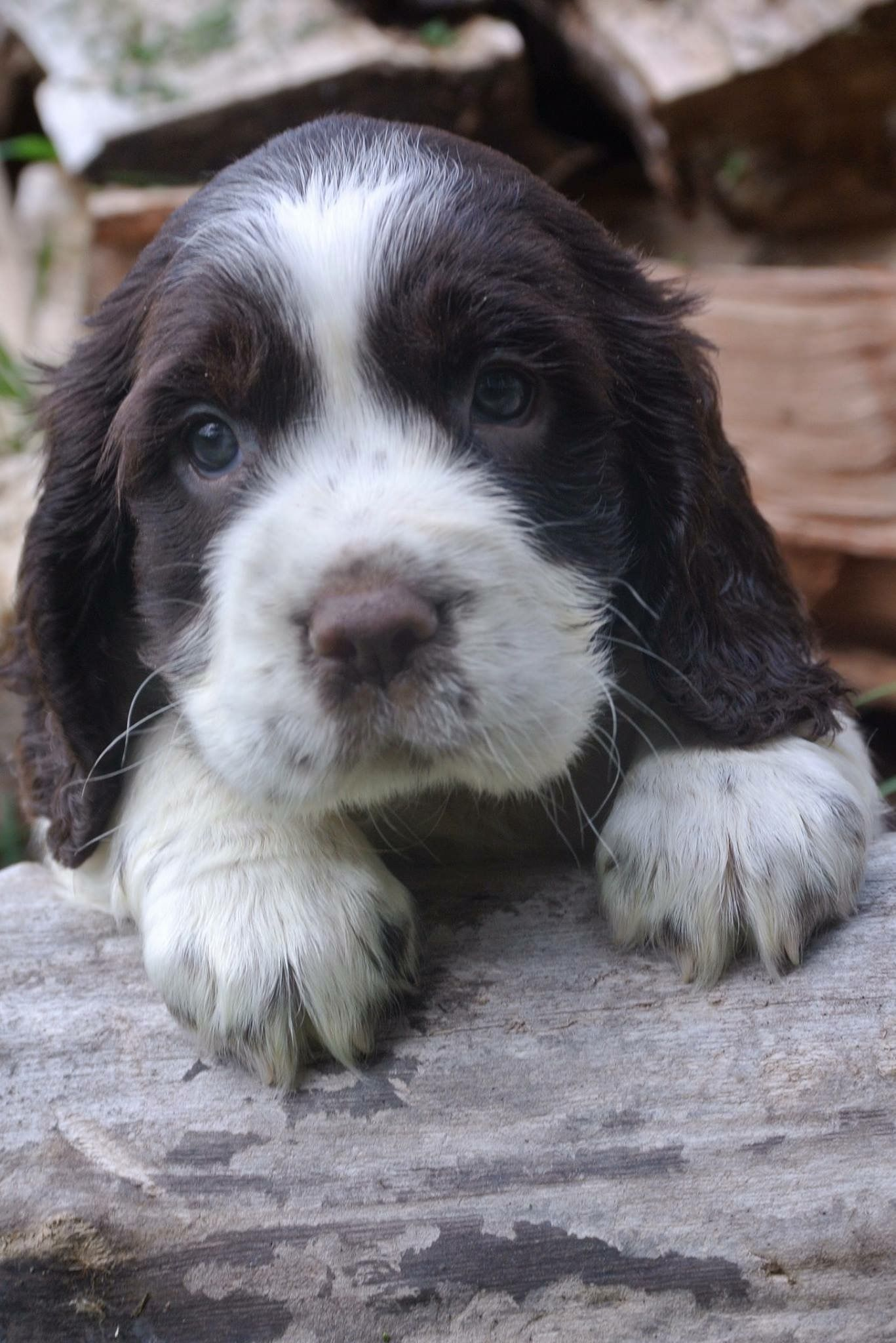 Pin By Melissa Hammer On English Springer Spaniels Springer Puppies Springer Spaniel Puppies Dogs