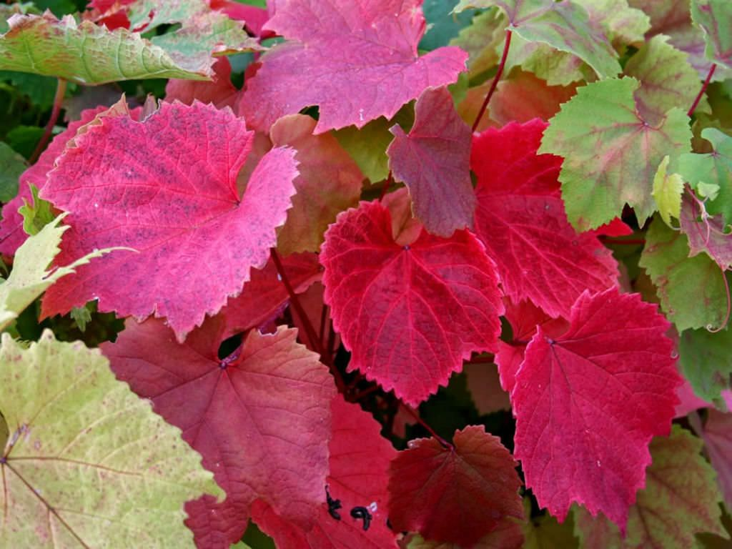 Vitis Coignetiae Crimson Glory Vine Planting Flowers Grape Vines Plants