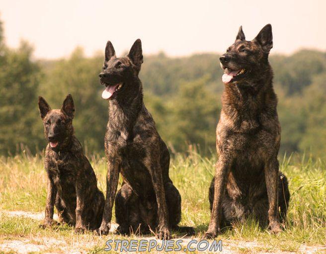 German Shepherd Rottweiler Mix De Hollandse Herder On Pinterest
