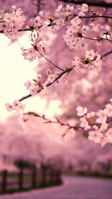 Japan Sakura Blossom Pink Wallpaper Get It Mobile9 Imagenes
