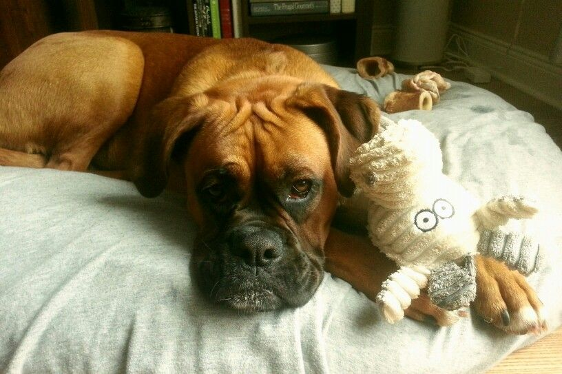 10 months old Mabel Boxer bulldog, Boxer puppies, Boxer dogs
