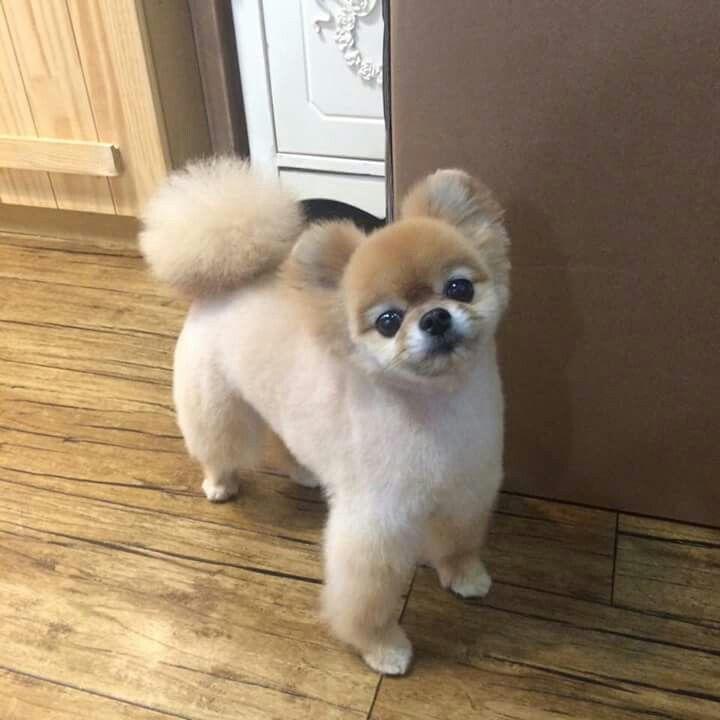 Haircuts For Pomeranians: Pomeranian Haircut, Dog