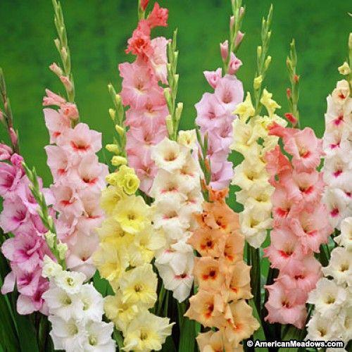 Pastel Gladiolus Mix Bulb Flowers Gladiolus Flower Gladiolus Bulbs