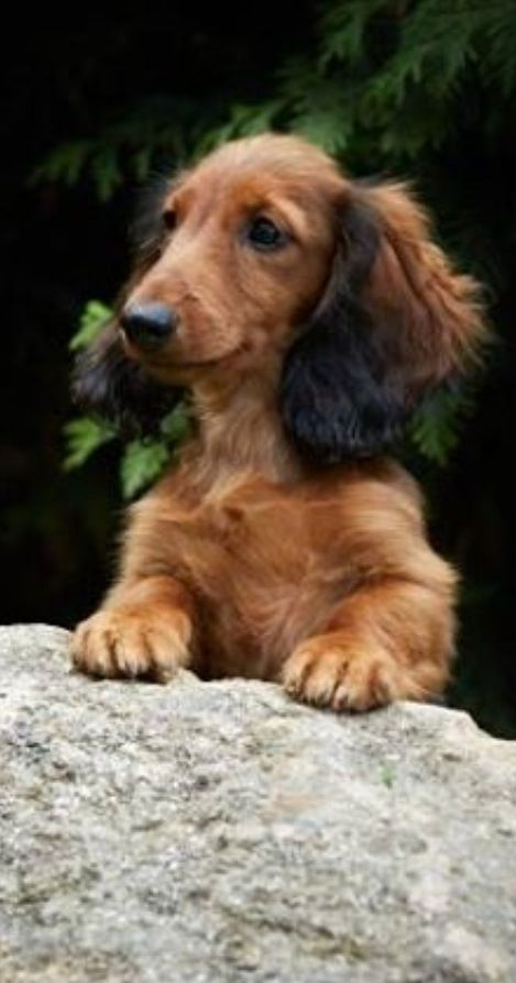 Chocolate And Tan Long Haired Mini Dachshund His Name Is