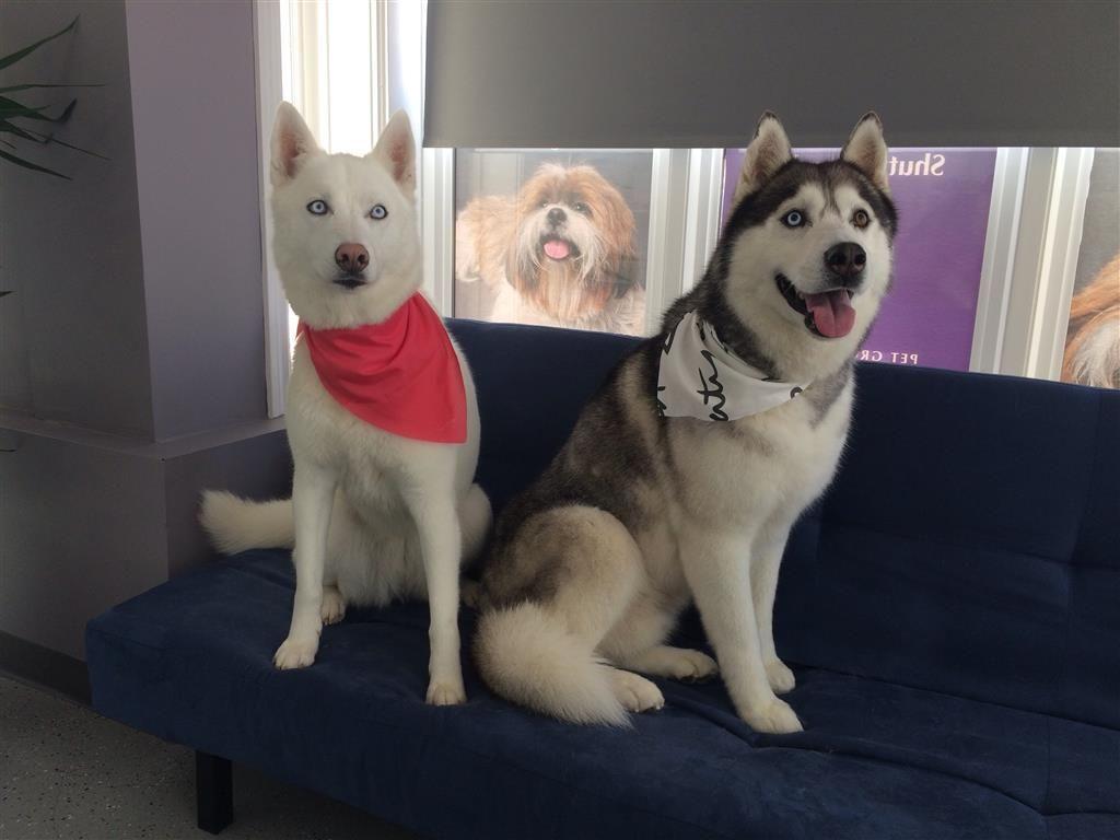 Lost Dog - Siberian Husky - Markham, ON, Canada L3R 0G2