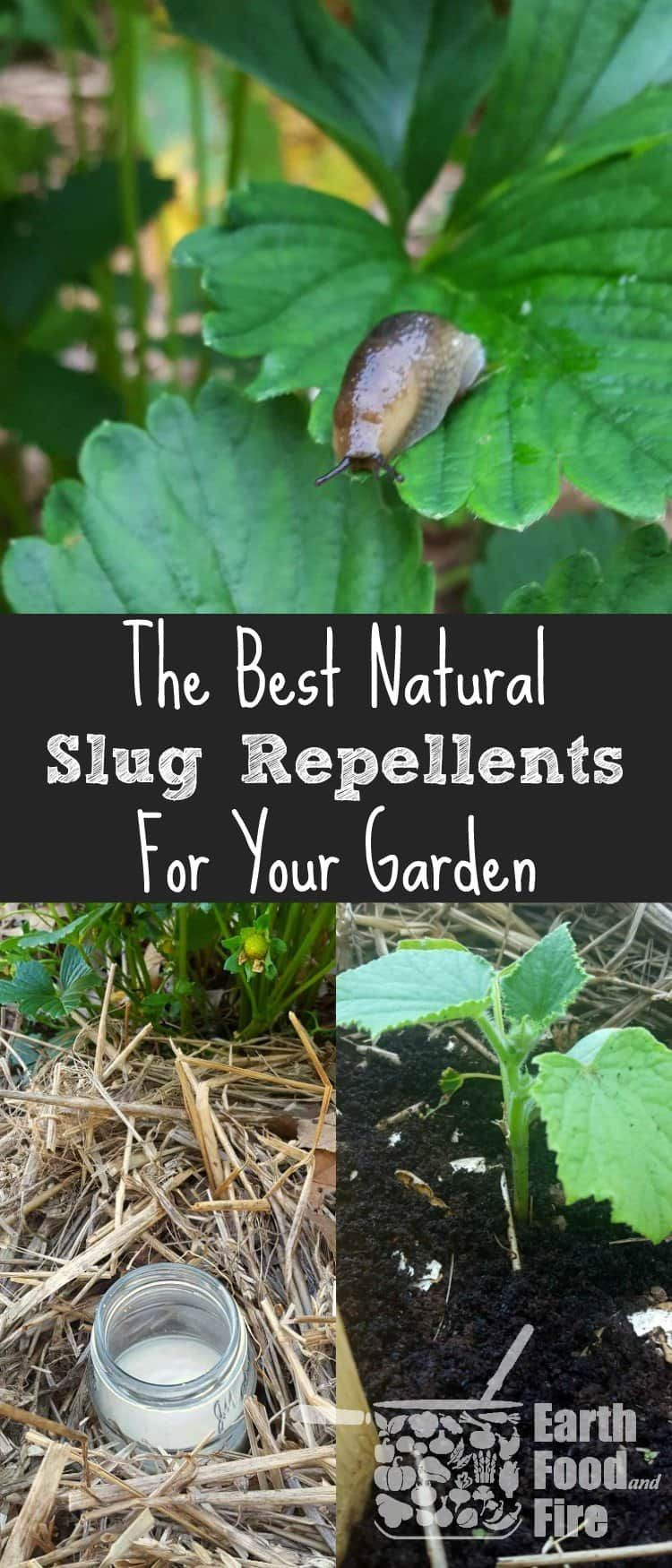 How to get rid of slugs in your garden organic vegetable