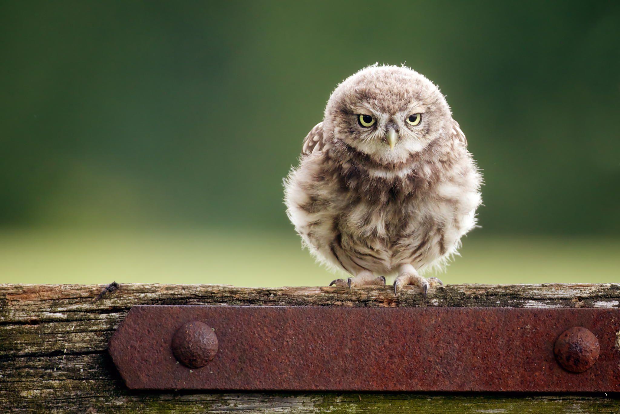 A little owl by Mark Bridger Pinned by www.myowlbarn.com