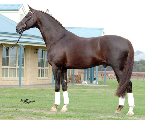 Liver chestnut- the darkest shade of a chestnut horse (ee ...