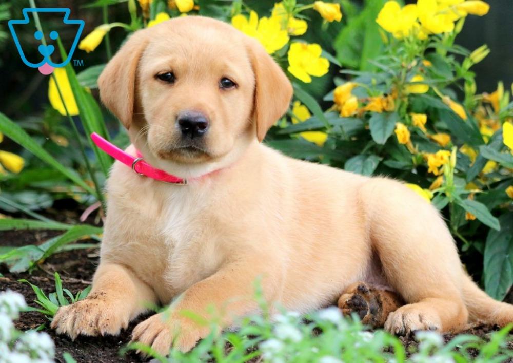 Daisy Labrador Retriever Fox Red Puppy For Sale
