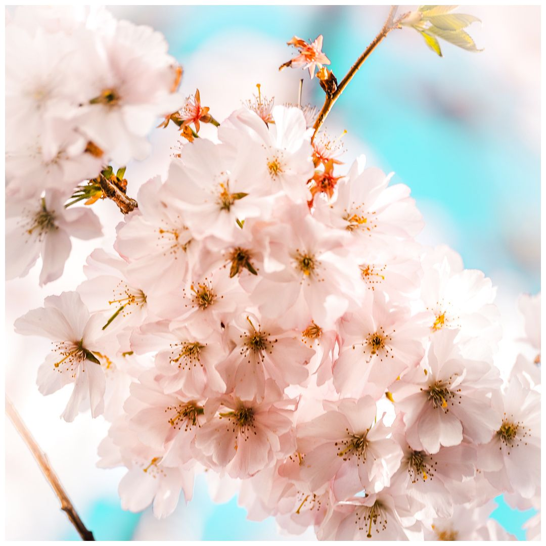 Cherry Blossoms In 2020 Springtime Photography Cherry Blossom Season Cherry Blossom Festival