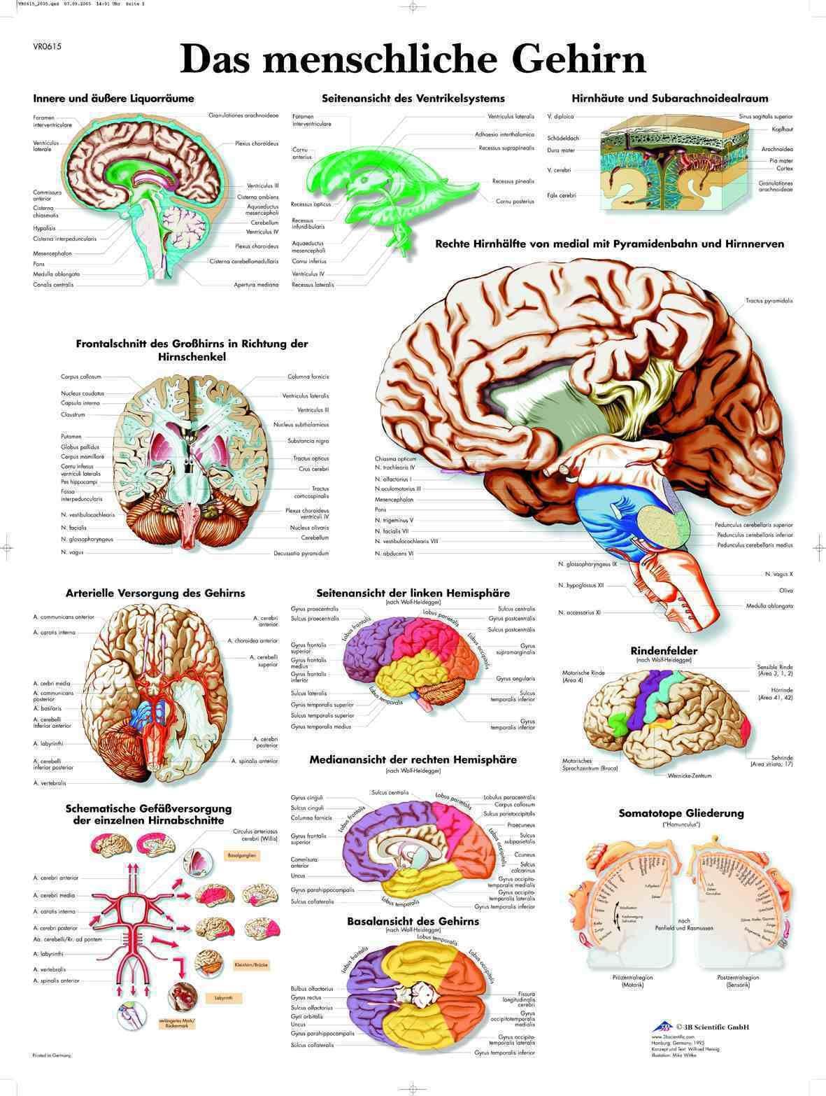 Das menschliche Gehirn Lehrtafel Anatomie 50 x 67 cm Poster • EUR 9 ...